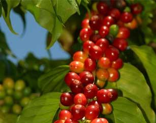 Kona Coffee - 100% Pure Hawaiian Kona Coffee direct from Kona, Hawaii