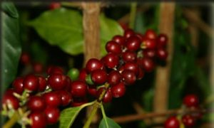 Coffee Harvest - Ripe Kona Coffee cherries on the vine