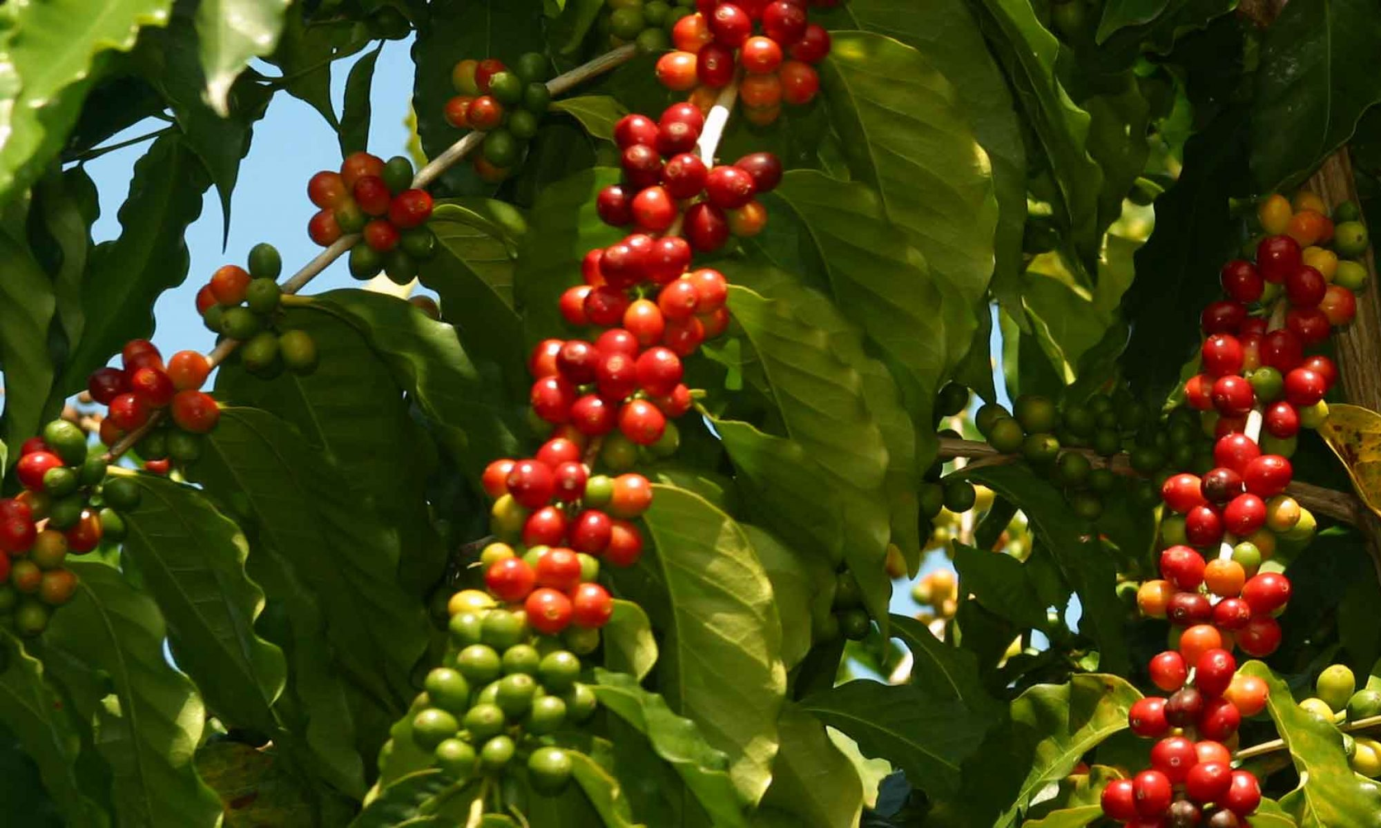 Coffee Harvest Season -Red Kona Coffee Cherries ready for hand picking