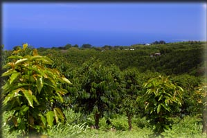 Family Farms - Kona Coffee Trees