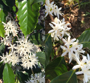 Kona Snow - Kona Coffee blossoms as it pertains to the meaning of the name Kona