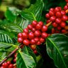 What Makes Kona Coffee Special